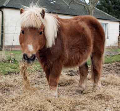 Tonto shetland pony